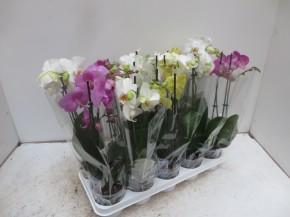 Phalaenopsis-Hybriden T 12 (2 Triebe) • VE 10