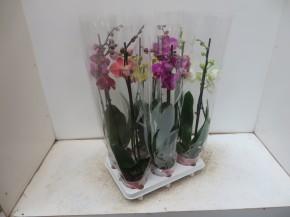 Phalaenopsis-Hybriden T 12 (3 Triebe) MIX • VE 6