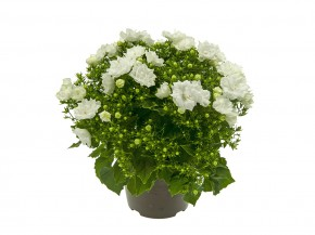Campanula haylodgensis T 10,5 'White Like Mee' • VE 12
