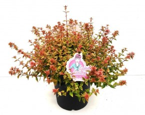 Abelia grandiflora 'Lady Summerdream' T 26 (buntlaubig) • VE 5