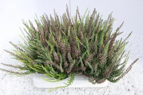 Calluna vulgaris T 6 GardenGirls® Mini TRIO • VE 12