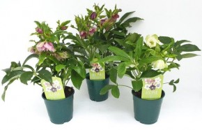 Helleborus orientalis 'Pretty Ellen' T 12 • VE 10