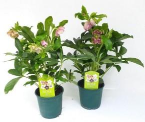 Helleborus orientalis 'Pretty Ellen' T 14 • VE 6