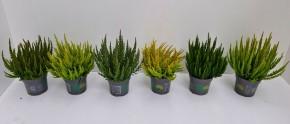Calluna vulgaris   Skyline®  MIX   T 11