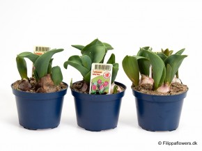 Tulipa-Hybrid 'Baby Blue' (lila) T 10 • VE 15