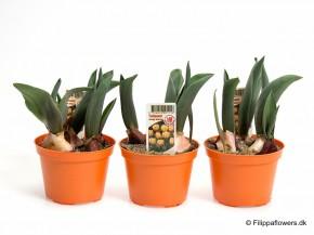 Tulipa-Hybrid 'Orange Princess' (gefüllt) T 10 • VE 15