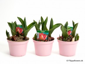 Tulipa-Hybrid 'Rembrandt' (pink, gefüllt) T 10 • VE 15