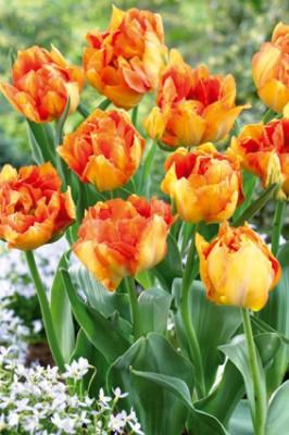 Tulipa-Hybrid 'Bruno Liljefors' (orange, gefühlt) T 10 • VE 15