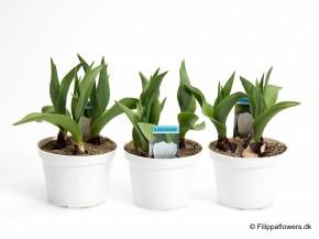 Tulipa-Hybrid 'Popcorn' (weiß, gefüllt) T 10 • VE 15