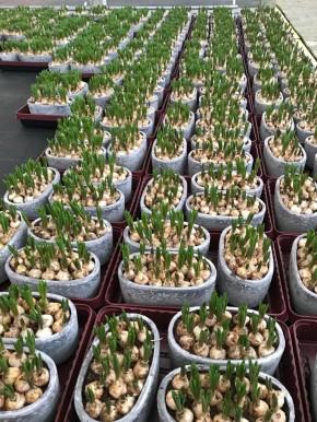 Muscari armeniacum in Ornament-Oval 23 cm • VE 3