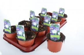 Anemone blanda T 11 WEISS • VE 10