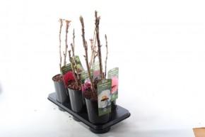 Paeonia-Suffruticosa-Hybriden T 18 MIX • VE 6