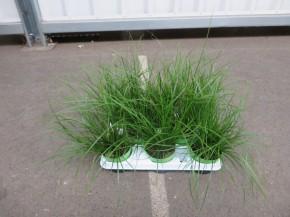 Carex brunnea T 11 GRÜN • VE 8