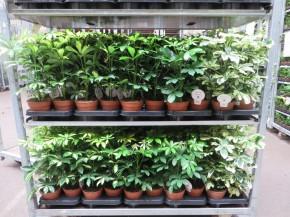 Schefflera aboricola T 13 BUNT • VE 8