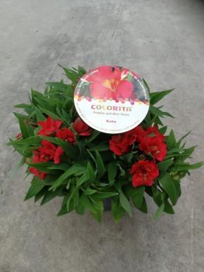 Alstroemeria-Hybriden 'Colorita' T 12 MIX • VE 3