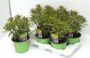 Euphorbia amygdaloides 'Ascott Rainbow' T 17