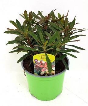 Euphorbia amygdaloides 'Efantia' T 17 • VE 6