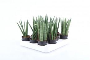 Sanseveria cylindrica T 6 MINI MIX • VE 12