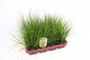 Carex brunnea 'Dark Green' T 9 • VE 12