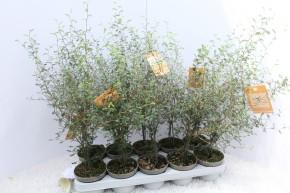 Sophora japonica 'Little Baby' T 12 • VE 10