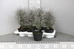 Corokia cotoneaster T 12 • VE 8