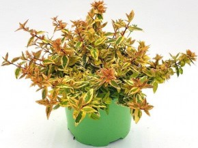Abelia x grandiflora 'Kaleidoscop' T 17 • VE 6
