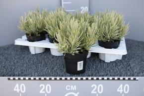 Lavandula angustiifolia 'Platinum Blonde' T 11 • VE 8