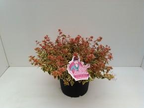 Abelia grandiflora 'Lady Peach' T 26 • VE 5