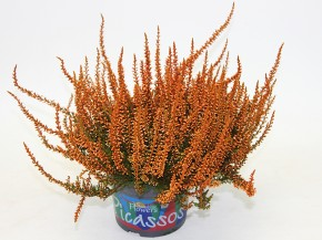 Calluna vulgaris PICASSO T 12 gefärbt ORANGE • VE 8