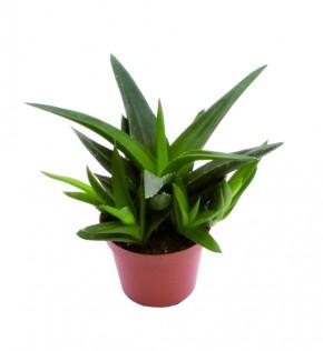 Aloe-Hybriden 'Black Gem' T 6 Mini • VE 12