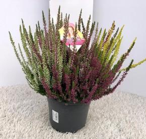 Calluna vulgaris T 17 Beauty Ladies® HIGH FIVE