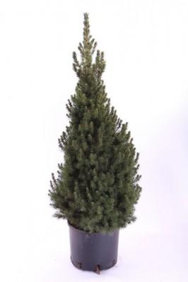 Picea glauca 'Conica' T 26   75 cm • VE 4