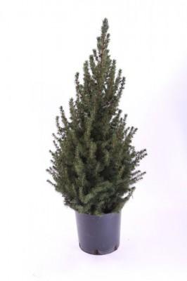 Picea glauca 'Conica' T 23   60 cm • VE 6