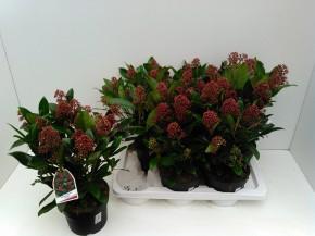 Skimmia japonica 'Rubella' T 17 (10-15 Dolden) • VE 6