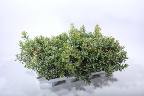 Pieris japonica 'Little Heath' T 13 • VE 8