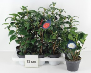 Camellia japonica T 13 'Flame' (rot) • VE 8