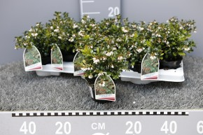 Vaccinium vitis-idaea 'Fire Balls' T 10 • VE 12