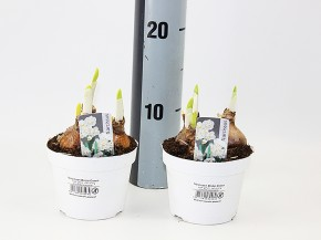 Narcissus 'Bridal Crown' T 10,5 (3ppp) weiß, kleinbl. • VE 11