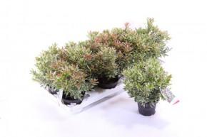 Pieris japonica 'Little Heath' T 10 • VE 12