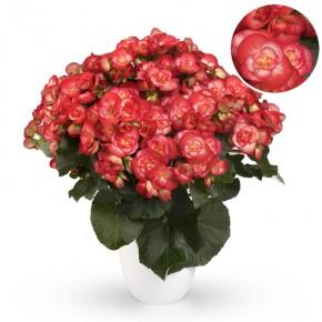 Begonia-Elatior-Hybriden T 13 'Rolinde' (rot-weiß) • VE 6