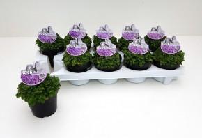 Aubrieta gracilis T 10,5 BLAU (Rock Collection®) • VE 10