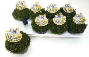 Saxifraga-Arendsii-Hybriden T 13 WEISS (Rock Collection®) • VE 8