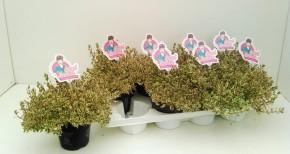Abelia grandiflora T 13 'Pink Lady' (weß-grünlich, rosa) • VE 8