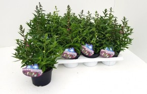 Angelonia angustifolia T 13 TRIO • VE 8
