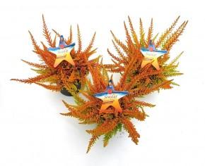 Calluna vulgaris 'Seastar' T 9,5