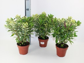 Hebe-Andersonii-Hybriden T 12 TWIN (grün & buntlaubig) • VE 6