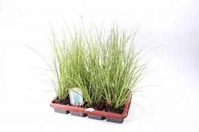 Carex brunnea 'Everillo' T 9 • VE 12
