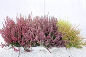 Calluna vulgaris T 12 GardenGirls® MIX-Lage • VE 40