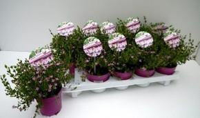 Boronia crenulata 'Pink Pearl' T 11 • VE 10