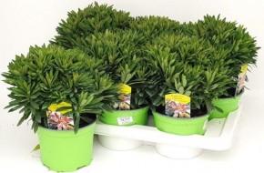 Euphorbia martinnii 'Tiny Tim' T 17 • VE 6